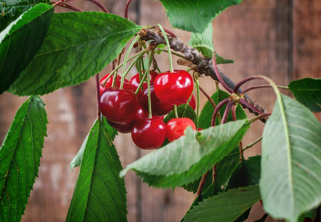 Bunch cherry tree with berries and leaves over wooden background
