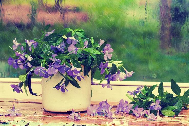Periwinkle flowers near window in the rain